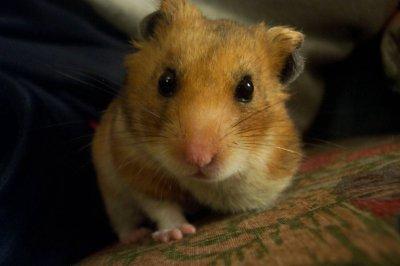 Hamsterfit для Minecraft Pocket Edition 0.9.0